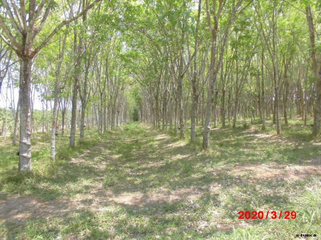 20200329 gummibaumplantage